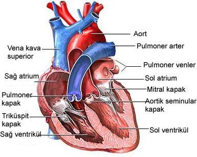 Kalbin görevleri nelerdir?